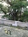 HK Sheung Wan 吊威也 Blake Garden tree near 磅巷 Pound Lane Aug-2010.JPG