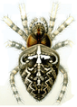 Haeckel Arachnida Araneus diadematus.png