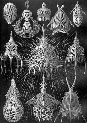 339px-Haeckel_Cyrtoidea.jpg
