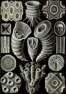 Haeckel Tetracoralla.jpg
