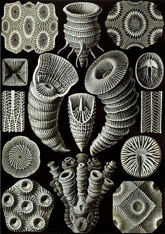"""Rugosa - """"Tetracorallia"""" from Ernst Haeckel's Kunstformen der Natur, 1904"""