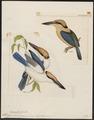 Halcyon cinnamomina - 1820-1863 - Print - Iconographia Zoologica - Special Collections University of Amsterdam - UBA01 IZ16800139.tif