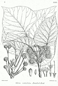 Haldina cordifolia Bra33