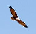 Haliastur indus -Karratha, Pilbara, Western Australia, Australia -flying-8 (18).jpg