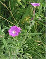 Harig wilgenroosje bloemen (Epilobium hirsutum).jpg