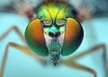 Head of a Longlegged Fly - (Condylostylus).jpg