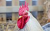 Head of chicken (DSCF6317).jpg