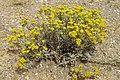 Helichrysum plicatum - Mantuvar.jpg