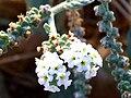 Heliotropium europaeum InflorescencesCloseup 27September2009 DehesaBoyaldePuertollano.jpg