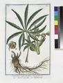 Helleborus niger foetidus - Elleboro nero falso - Hellebore noir. (Stinking hell-wore, Setter wort) (NYPL b14444147-1130590).tiff
