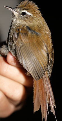 Hellmayrea gularis - White-browed Spinetail.jpg