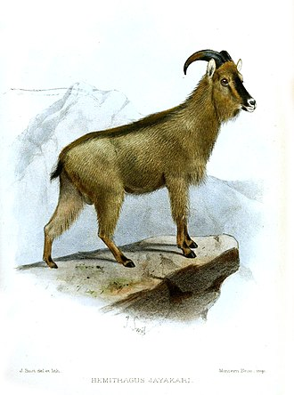 Arabian tahr - Image by Joseph Smit, in the collection of the Zoological Society of London