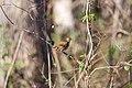 Hermit thrush (32941528565).jpg