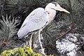 Heron - Woburn Safari Park (4554961423).jpg