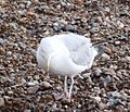 Herring Gull 010.JPG
