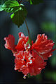 Hibiscus El Capitolio (1).jpg