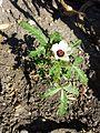 Hibiscus trionum sl23.jpg