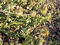 Hibiscus trionum sl47.jpg