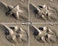 Hiding Starfish.jpg