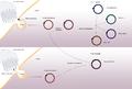 High grade serous carcinoma theories of origin diagram.png