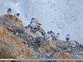 Hill Pigeon (Columba rupestris) (32432445948).jpg
