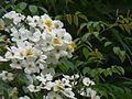 Himalayan Musk Rose (2560533973).jpg