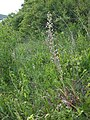 Himantoglossum adriaticum sl28.jpg