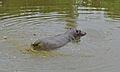 Hippo (Hippopotamus amphibius) (6018340452).jpg