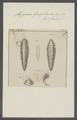 Hipponoe gaudichaudii - - Print - Iconographia Zoologica - Special Collections University of Amsterdam - UBAINV0274 102 03 0011.tif