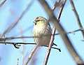 Hoary Redpoll (individual 2), Oakfield, MI, February 4, 2012 (6818877121).jpg