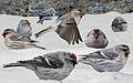 Hoary Redpoll From The Crossley ID Guide Eastern Birds.jpg