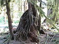Hoh Rainforest - Olympic National Park - Washington State (9780293834).jpg