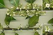 Fleurs de houx commun, mâles en haut, femelles en bas