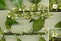 Hollies (here, Ilex aquifolium) are dioecious: (above) shoot with flowers from male plant; (top right) male flower enlarged, showing stamens with pollen and reduced, sterile stigma; (below) shoot with flowers from female plant; (lower right) female flower enlarged, showing stigma and reduced, sterile stamens with no pollen.