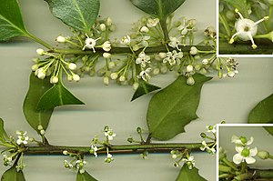 Holly - Hollies (here, Ilex aquifolium) are dioecious: (above) shoot with flowers from male plant; (top right) male flower enlarged from female plant; (lower right) female flower enlarged, showing stamen and reduced, sterile stamens with no pollen.