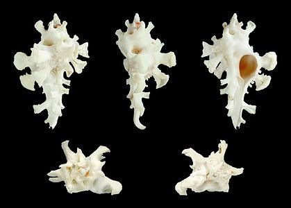 Homalocantha zamboi