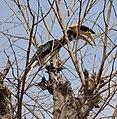 Hornbill of ratnagiri.jpg