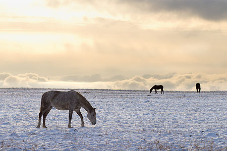 Horses in wintertime Burtnieki.jpg