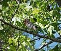House Finch Carpodacus mexicanus male (24646114938).jpg