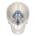 Human ventricular system - frontal view.png