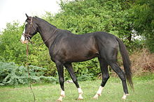 A dark brown horse standing in a grassy area with trees and bushes in the background. The horse is wearing a bridle with a lead trailing on the ground.