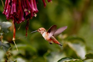 A hummingbird and his flowers. The image was t...