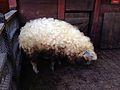 Hungarian Mangalica Pig.jpg