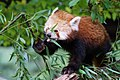 Hungry Red Panda (138479709).jpeg
