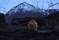 Hunza cat.jpg