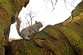 Hyde Park - Squirrel (wiewiórka) - panoramio.jpg