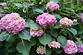 Hydrangea Bush.jpg