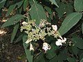 Hydrangea aspera 2zz.jpg