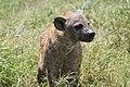 Hyena (11708361084).jpg