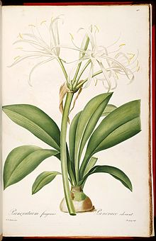 Hymenocallis fragrans (as Pancratium fragrans) 7.413.jpg